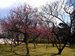 陽当たりの良い場所では既に花を咲かせている梅もある!
