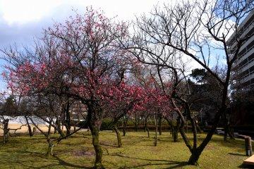 공원의 햇빛이 비치는 지역에서 몇몇 매화나무는 이미 꽃을 피우고 있답니다!