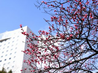 青空の下、福井市中央公園で花開くピンクの梅