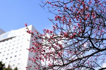 푸른 하늘 아래 후쿠이시 중앙공원에 꽃피기 시작하는 짙은 분홍 매화꽃