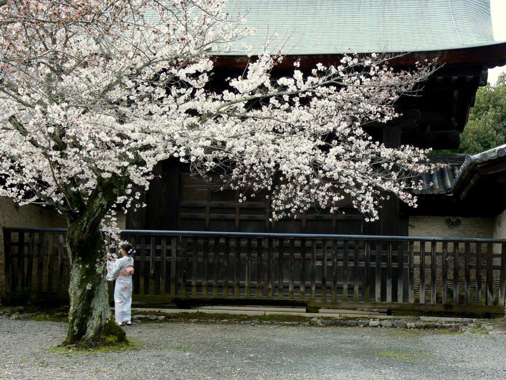 Женщина под огромным деревом сакуры