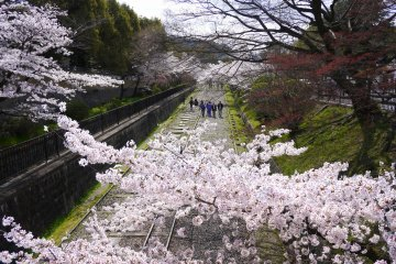 Cherry Blossoms at Keage Incline