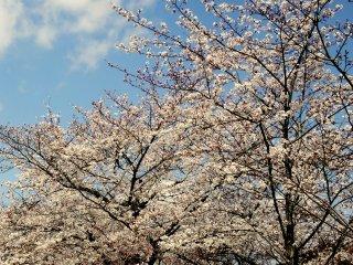 ดอกซากุระกับสีฟ้าของท้องฟ้าเป็นภาพที่งดงาม