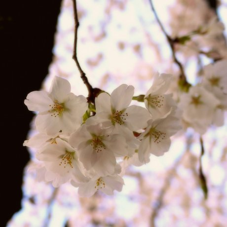 Blossoms Along Philosopher's Path