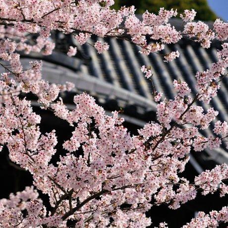 วันที่สมบูรณ์แบบสำหรับชมดอกซากุระ