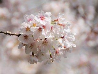 春の陽光を浴び、浮び上るような桜