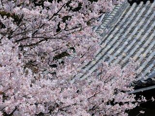 大屋根の流線に沿うように咲き乱れる!