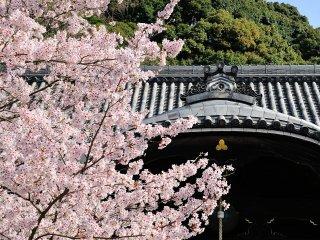 青空と桜と威厳のある堂!威圧感溢れる光景が目の前に広がる