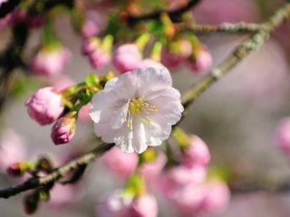 花弁の質感がとても滑らか!まるで絹のような生地に見える