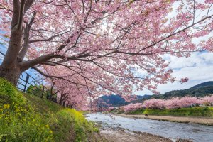 The Kawazu blossoms lined along the river are one of creation's finest spectacles.