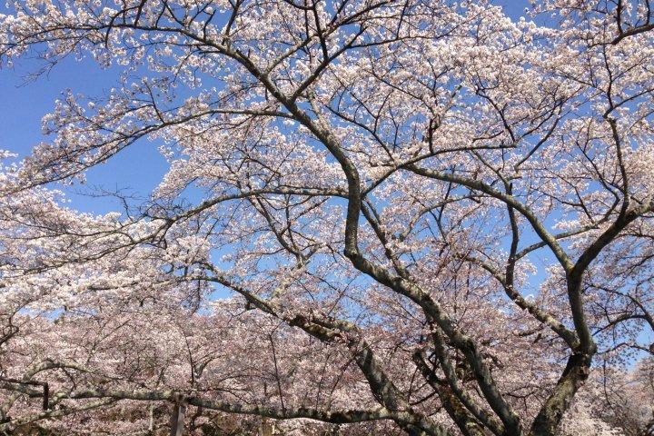 Mikamine Park Revisited for Hanami