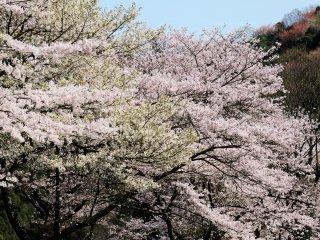 約7000本の桜が咲き乱れる境内はさすがに圧巻