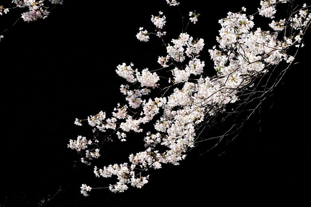 スポットライトを浴びたような桜にフォーカシングすると淡い花は浮き出て来る