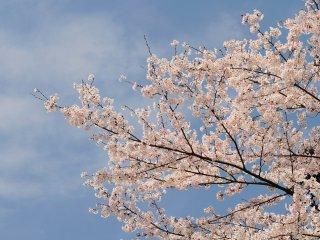 やはり青空と桜の相性は絶妙だ
