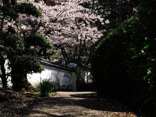 和やかな散策路、桜の小径と呼びたい!