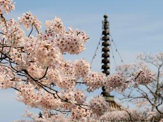 焼討から唯一残った大塔、今まで何度桜を眺めて来たのであろうか?
