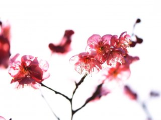 I tried to create a translucent effect with lovely plum blossoms