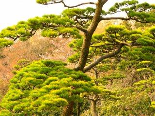 Japanese black pine getting greener in early spring