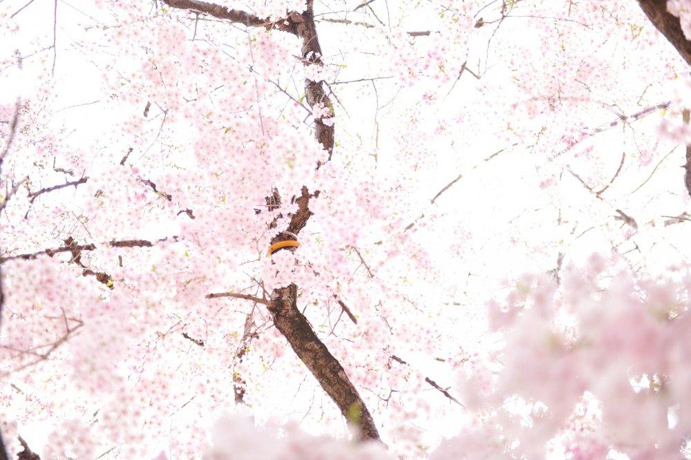 ความงามที่เลอเลิศที่สุดของญี่ปุ่น ดูราวกับภาพวาดบนประตูเลื่อน