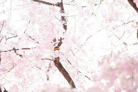 สวนแห่งหยิน-หยาง และดอกซากุระ