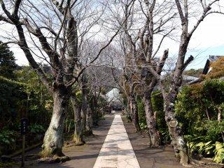 양쪽에 벚꽃나무가 줄지어져 있는 가운데, 좁은 돌로 포장된 길. 봄이면 틀림없이 아름다울 거다