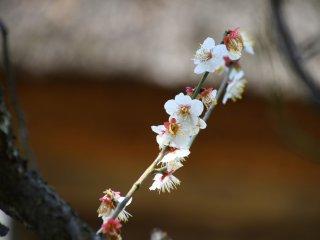 입구에 작고 하얀 꽃이 있는 자두 나무의 작은 가지