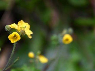 ・・・でも良く見るとこんな可愛い花が咲いていた! 春はもうすぐそこだ!