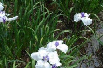 Close of up iris