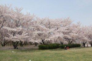 Oizumi in spring