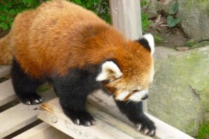 Red panda checks out the see-saw