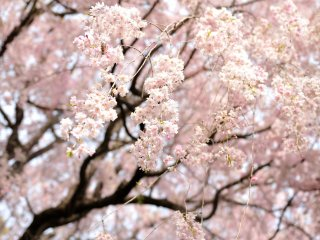 茶室前の庭でしだれ桜の全景を仰ぎ見る