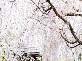 しだれ桜の下、陽光がまぶしい!