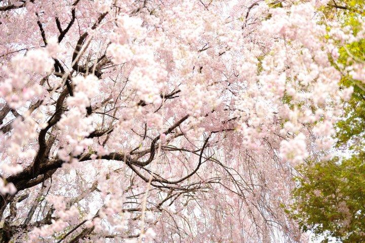Pohon Sakura di rumah teh Daikyuan