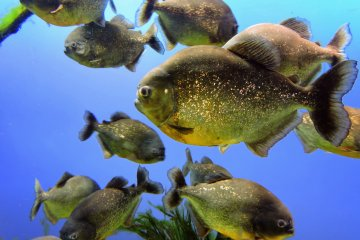 <p>The piranha have scales of gold... who knew!</p>