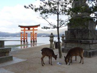 ประตูโทริสีแดงแห่งมิยะจิมะ (Miyajima) เป็นสัญลักษณ์ของประเทศญี่ปุ่น รองจากภูเขาฟูจิ