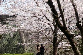 구마모토 성에서의 벚꽃