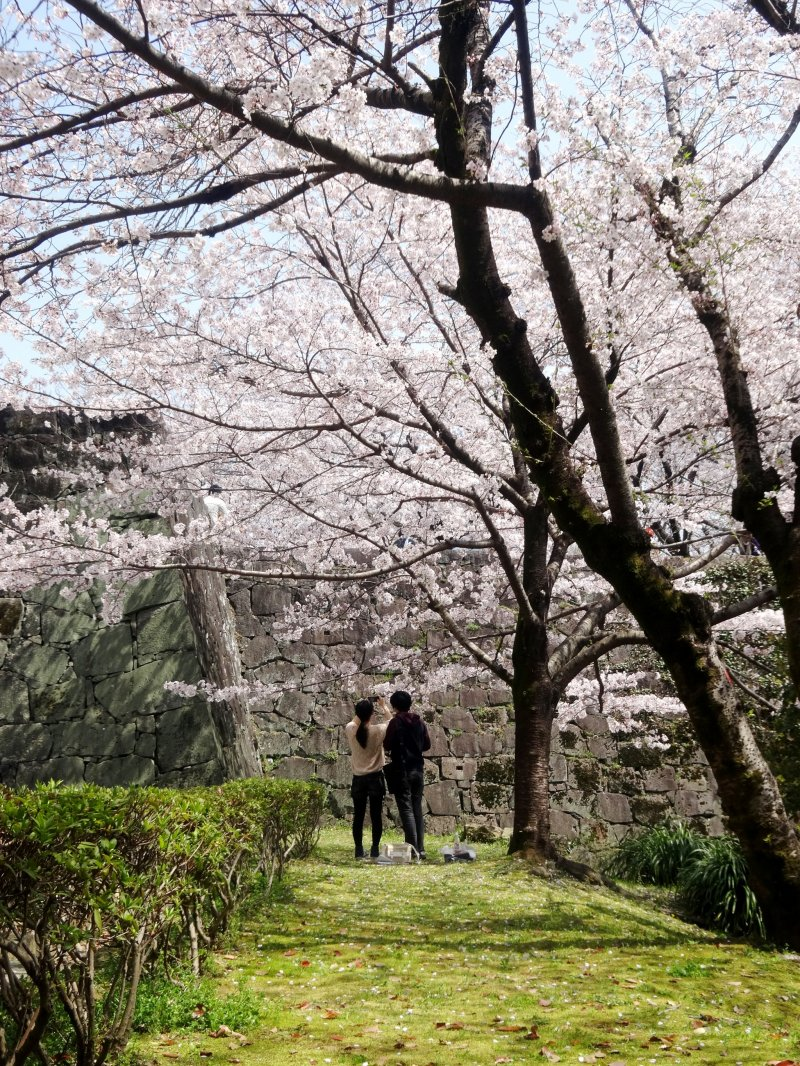 <p>The sakura outside the castle walls are almost more impressive than those within</p>