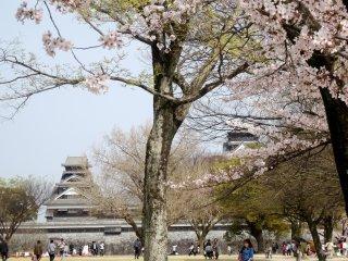 桜の間から熊本城を仰ぎ見る。