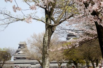 <p>The towers of Kumamoto castle can be seen through the petals</p>