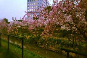ดอกซากุระที่ริมแม่น้ำ *2