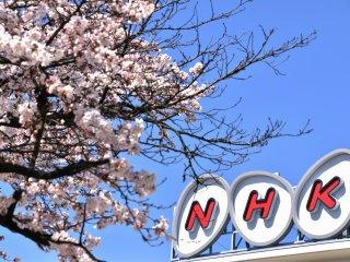 Tòa nhà chi nhánh ở Fukui của NHK và những bông anh đào