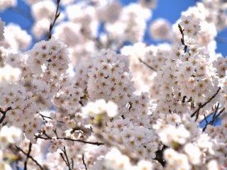 Những bông anh đào hồng nhạt phất phơ trước gió dưới ánh nắng xuân ấm áp