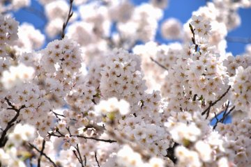 <p>Pale pink blossoms fluttering in the wind under the warm spring sunshine</p>