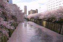 Hoa anh đào ven sông Meguro
