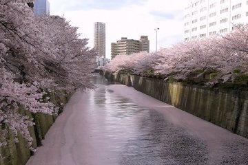 ซากุระริมแม่น้ำเมะกุโระ (Meguro)