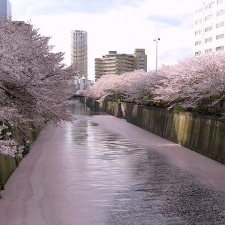 Flores de Cerejeira no Rio Meguro