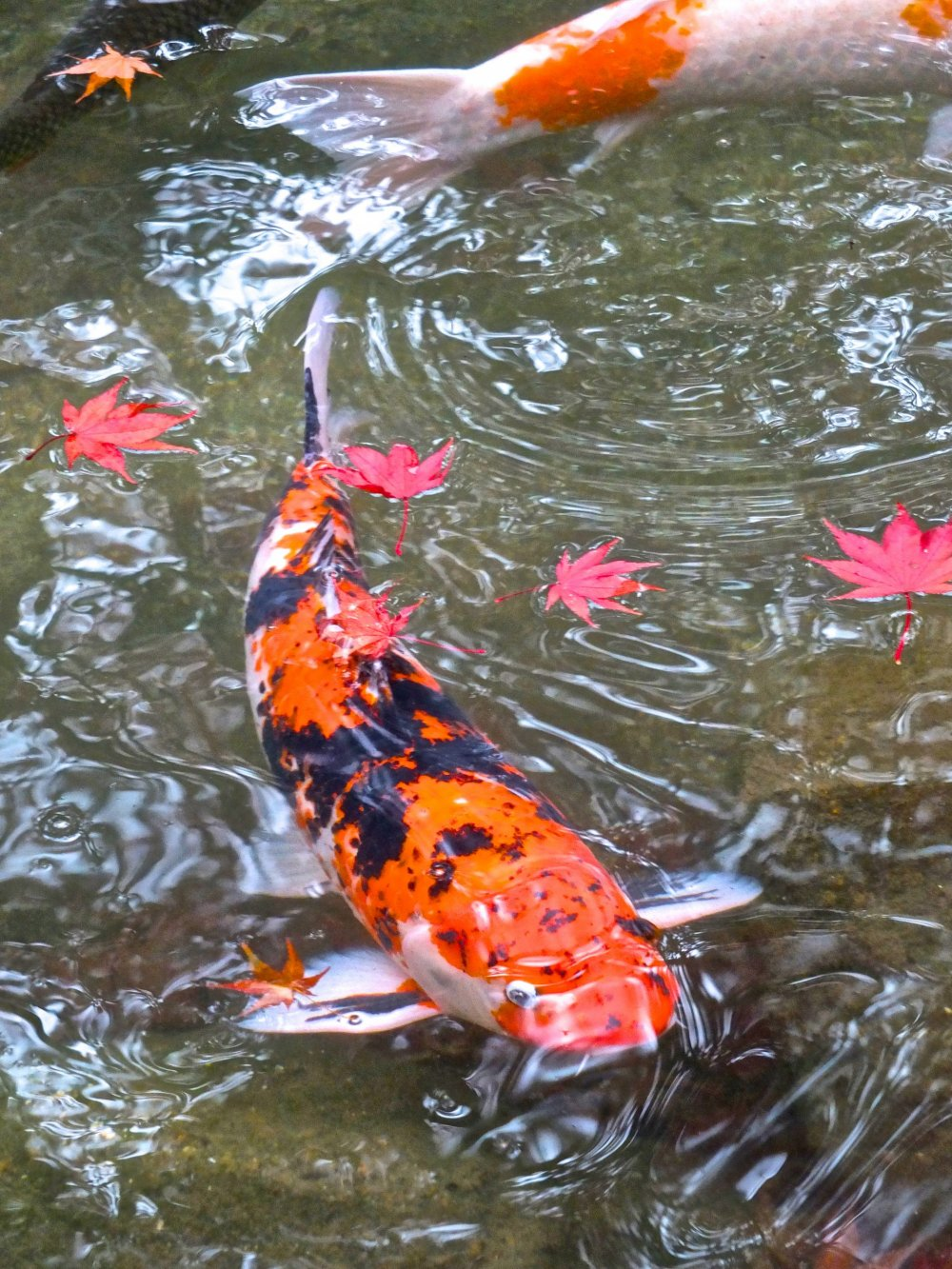 Momiji flutuando no lago de carpas do parque