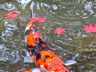 鯉の泳ぐ池に舞う紅葉