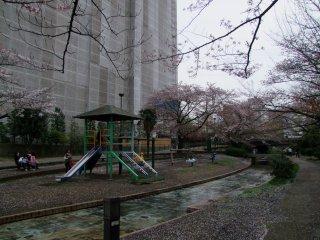 Crianças a brincar junto às sakura