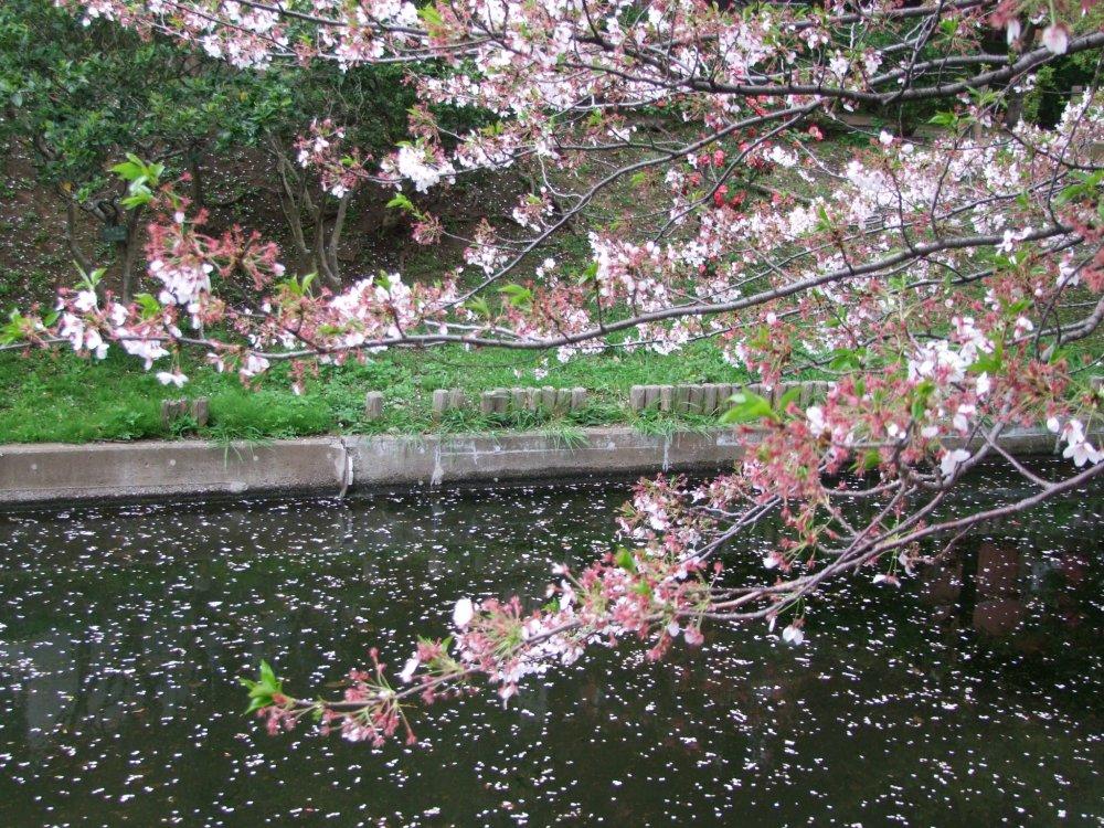 Examinando a fragilidade das flores de cerejeira